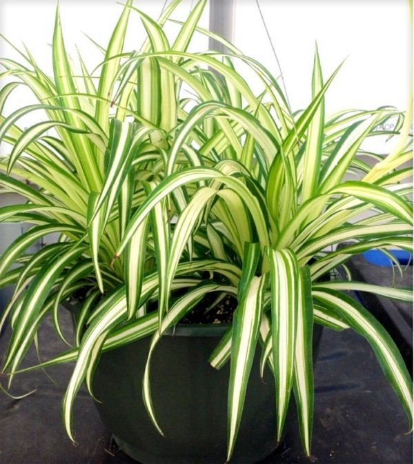 The Green Lily Grows Relatively Quickly What Indoor Plants Need Little Light