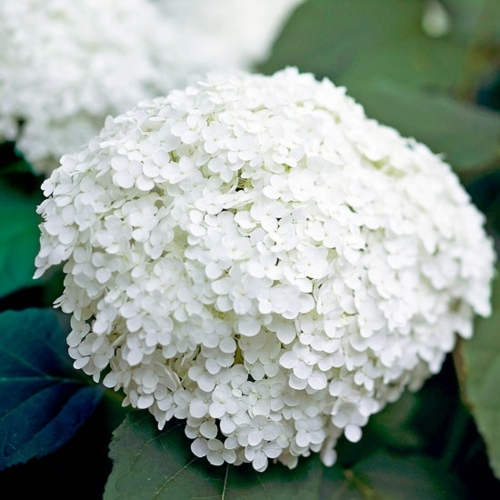 Beautiful white flowers for your garden interior design ideas beautiful white flowers for your garden mightylinksfo