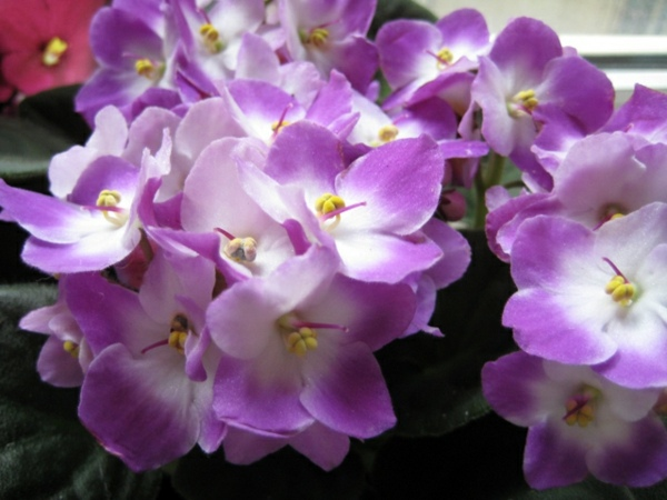 Wonderful Flowering House Plants Purple