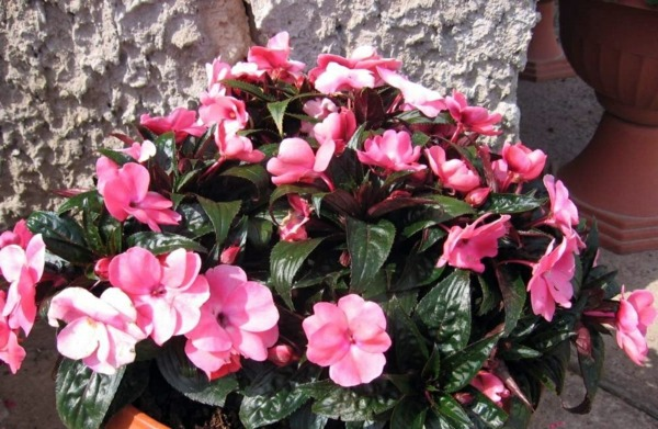 Green house plants flowering easy care potted plants for Easy to care for outdoor flowering plants
