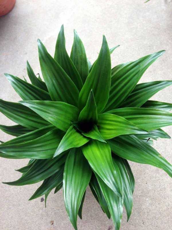 Excellent Ability To Remove Pollutants Dragon Feng Shui House Plants