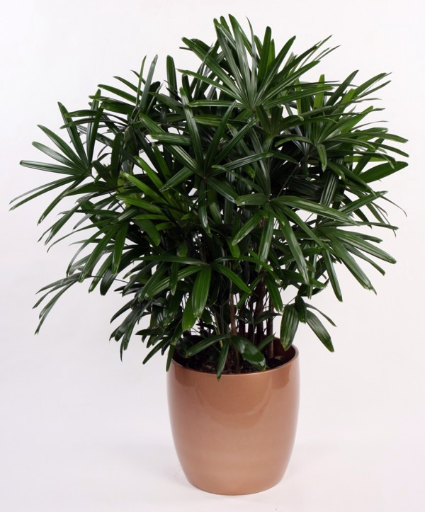 palm-species-as-house-plants-hardy-exotic-solutions-16-515 Palm Tree Types Of Houseplants on types of indoor palms, types of bamboo houseplants, common palm houseplants, types of trees in florida, types of lily houseplants,