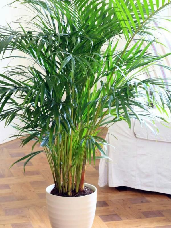 indoor palm images  which are the typical types of palm trees, Natural flower