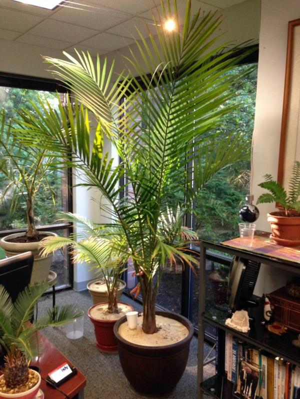 Create A Relaxed Atmosphere In The Office Indoor Palm Images Which Are Typical Types Of Trees