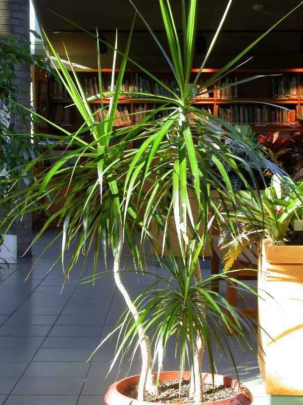 Palm House Plant Looks Like on palm like weeds, palm like succulents, palm like leaves, palm like fern, palm like flower,