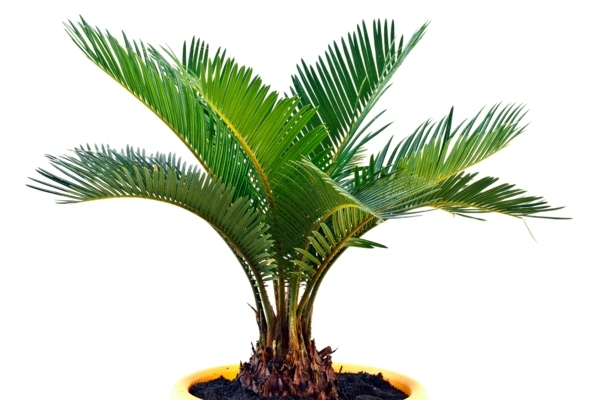 palm fruit gold is one of the most popular trees for indoor palms Palm