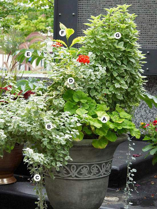 how to grow geraniums in containers