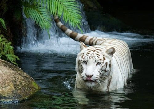 Animal Black And White Animals Nature Rain Tigers Blue Eyes Cat ...