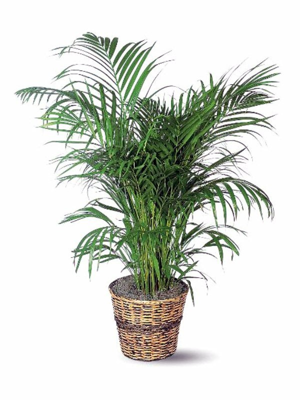 Caring For Tropical Plants Part - 18: Fresh, Easy To Care For Houseplants That Improve The Interior Features:  This Tropical Plant ...
