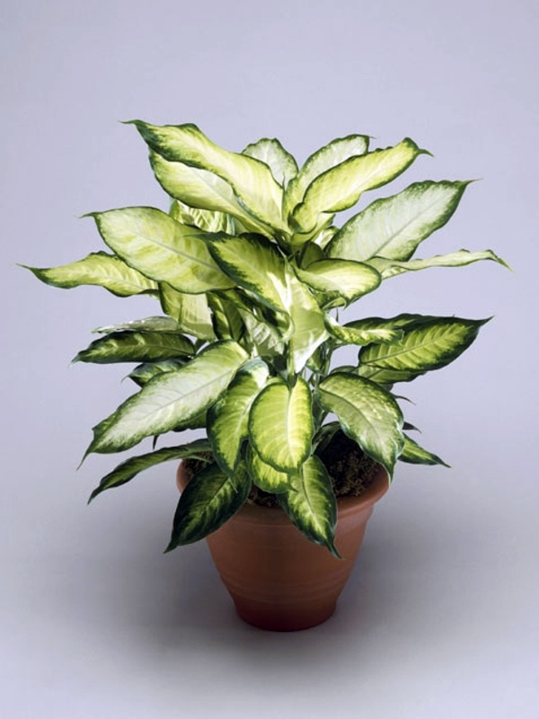 pleasurable low maintenance house plants. Fresh easy to care for houseplants that improve the interior  pleasurable low maintenance The Best 100 Pleasurable Low Maintenance House Plants Image