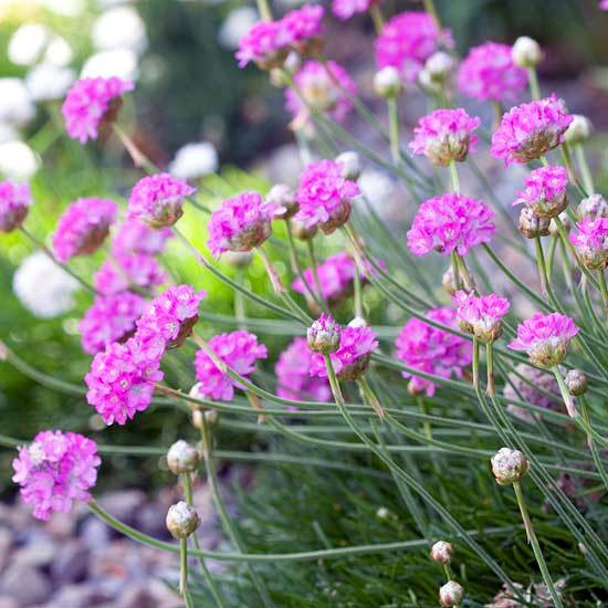 The most beautiful pink flowers in the garden grow