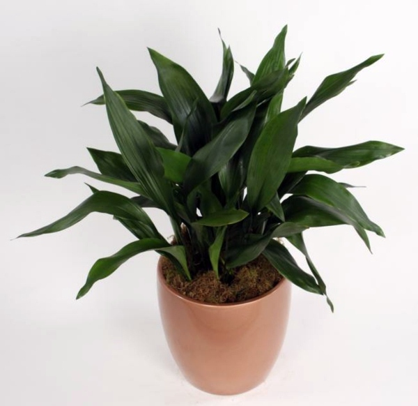 indoor-plants-suitable-for-dark-rooms-3-749 Decorating With Plants In A Dark House on vine house plants, large house plants, small house plants, green house plants, names of house plants, beautiful house plants, best house plants, dumb cane house plants, great house plants, care of house plants, home depot house plants, hardy house plants, easy house plants, tall house plants, home decor with plants, colorful house plants, unique house plants, rare house plants, purple house plants, common house plants,
