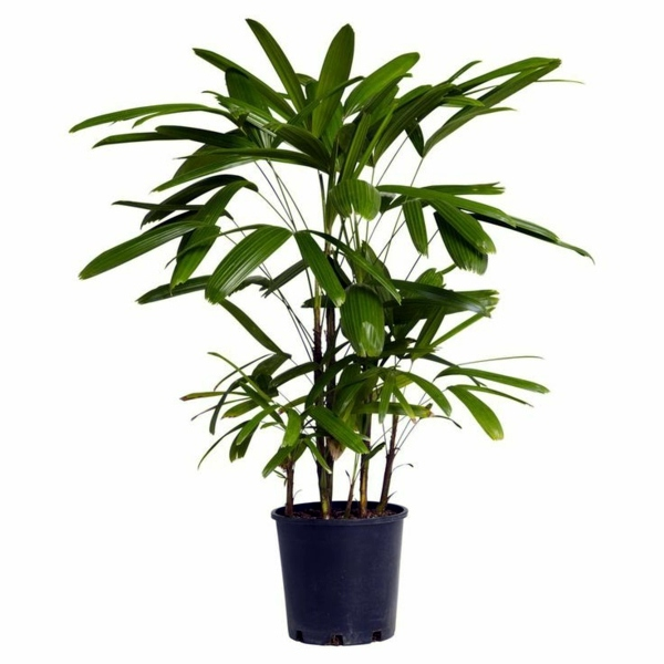 balkonpflanzen palm species houseplants rhapis excelsa is one of the most popular indoor palm
