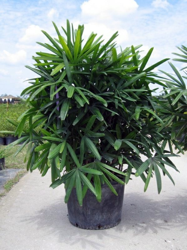 lady palm palm species houseplants rhapis excelsa is one of the most popular indoor palm trees