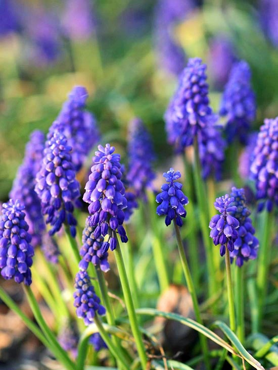 Armenian Grape Hyacinth Install The Most Beautiful Blue Flowers In Garden