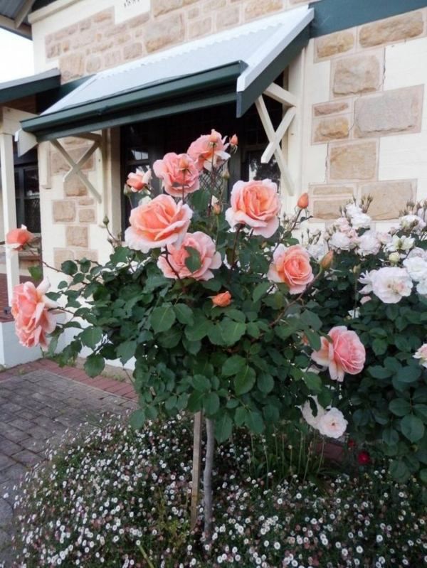 Rose Pruning In Spring Or Autumn Cut Roses Properly