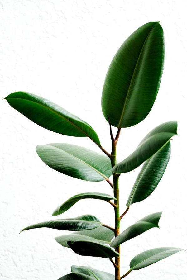 Rubber Tree With Large Leaves Green House Plants Flowering Easy Care Potted