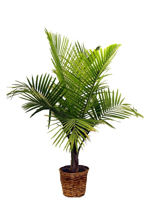 Einrichtungsideen - Palm species as house plants - hardy, exotic solutions