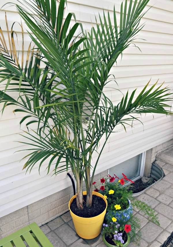 Indoor palm images – which are the typical types of palm ... on house plant schefflera arboricola, house plant palm care, bamboo tree, house plant flower, house plant orchid, house plant swedish ivy, yucca house plant tree, house plant arrow, house plant rubber plant, house plant grass, house plants that look like trees, low maintenance indoor plants tree, house plant pineapple, house plant house, house plant with green leaves and white, corn house plant tree, house plant umbrella tree, house plant bamboo, house plant propagation, house plant pink,