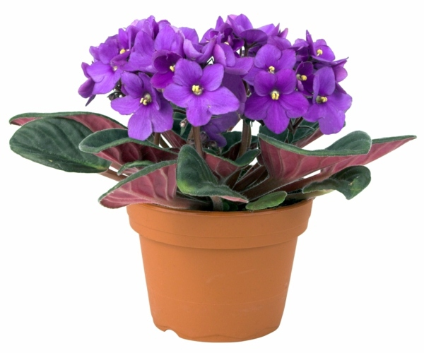 cute purple flowers need fertilizer sy houseplants por easy care potted plants - Flowering Indoor House Plants