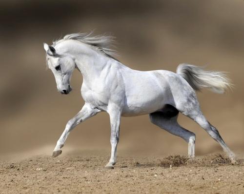 Royal White Horse