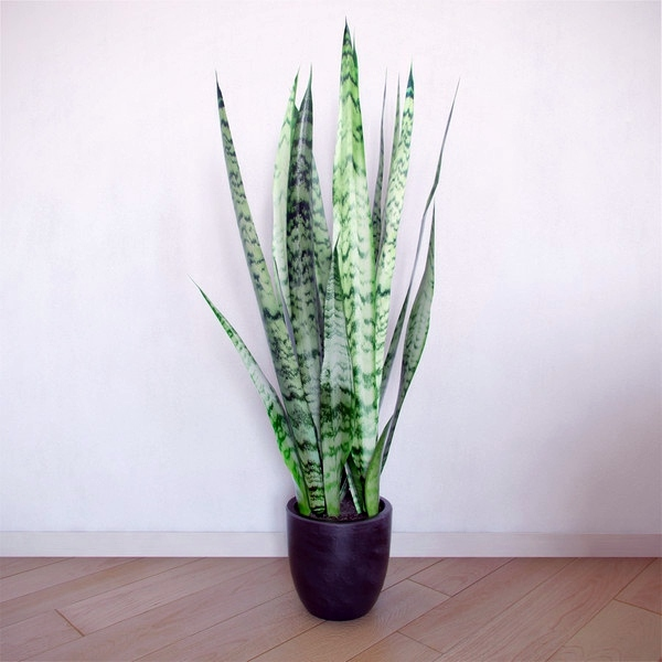 Sansevieria Indoor Plants Suitable For Dark Rooms